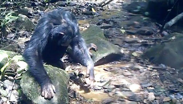 Ein Schimpanse sucht nach Krabben. (Kathelijne Koops) (Bild: beamue)